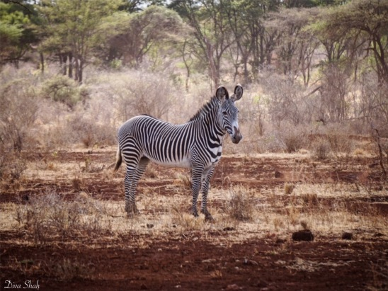 A beautiful Grévy's zebra