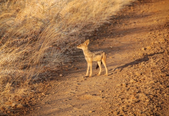 A young jackal crossing the road