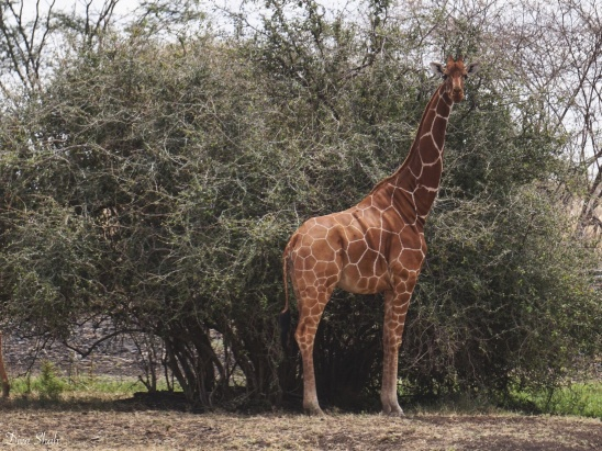 A reticulated giraffe