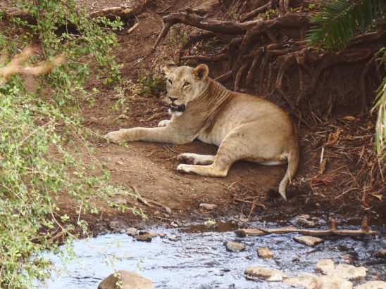 One of the lions from the pride we saw, just hanging by the river