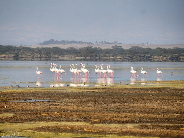 Flamingoes at the lake